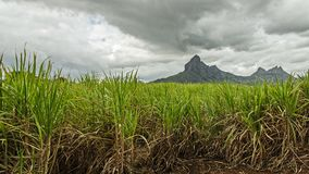 A field of sugar cane. In Mauritius stock photography