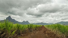 A field of sugar cane. In Mauritius royalty free stock photo