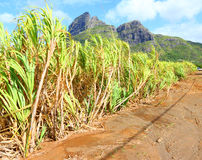 Field of sugar cane. On Mauritius Island. Agriculture in tropical climate royalty free stock images
