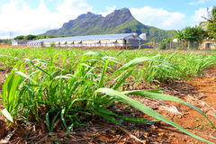 Field of sugar cane. On Mauritius Island. Agriculture in tropical climate royalty free stock photo