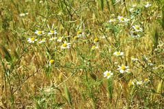 Field in the summer. Fresh white and yellow beautiful flowers on a hot sunny day with dry leaves and plants in the background- zoom in image Stock Image