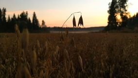 The oat field at summer night royalty free stock images