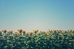 field summer sunflower Royaltyfri Fotografi