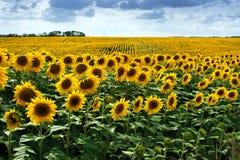 field summer sunflower Arkivfoton