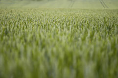 Field of Summer Wheat 2 Stock Photo