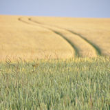 Field in summer. Wheat in the front in summer with tracks of a tractor in a barley field in the back Stock Image