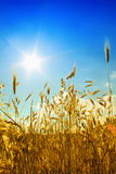 Field with sun Stock Photography