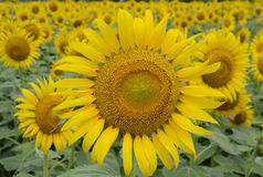 THE FIELD OF SUN FLOWER Royalty Free Stock Image