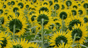 THE FIELD OF SUN FLOWER Royalty Free Stock Photo