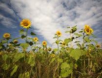 Field of Sun Flowers Stock Image