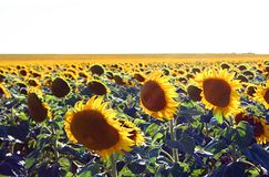 A field of sun flowers Stock Photos