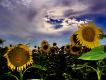 Field of sunflower....(1) Royalty Free Stock Photography