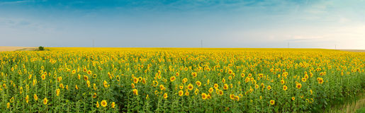 Field of sunflower Royalty Free Stock Photography