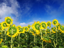 Field of the sunflower. On background blue sky. Natural composition Stock Images
