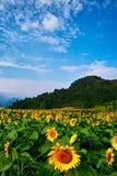 Field of sunflower Stock Image