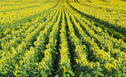 Field of sunflower Royalty Free Stock Photos
