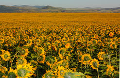 Field of sunflower Stock Images