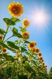2 field sunflower 免版税库存照片