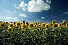 Field of sunflower. And sky royalty free stock photo