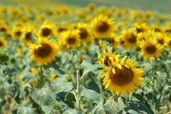 2 field sunflower 库存照片