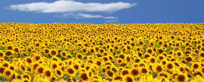 Field of sunflower Stock Photo
