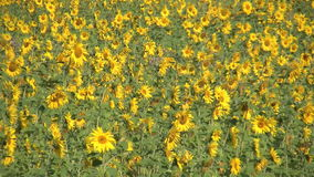 Field of Sunflower stock video