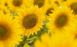 Field of sunflower Stock Image