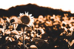 Field of sunflower royalty free stock image