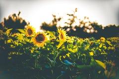 Field of sunflower stock photo