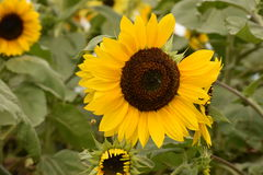 Field of sunflower blooms Royalty Free Stock Images