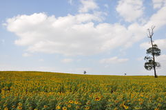 Field of sunflower on blue sky background Royalty Free Stock Photo