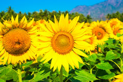 Field of  sunflower blue sky with mountains Royalty Free Stock Images