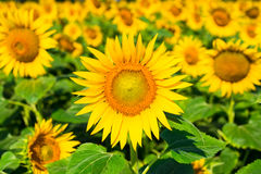 Field of sunflower closeup Royalty Free Stock Photography