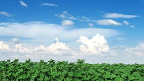 Field of sunflower and clouds fast. stock footage