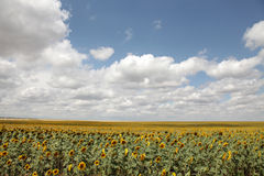 Field of sunflower and clouds over it Stock Photos