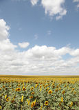 Field of sunflower and clouds over it. Photo #4 Royalty Free Stock Image