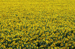 Field of sunflower Stock Photos