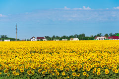Field with sunflower in front of village Royalty Free Stock Image