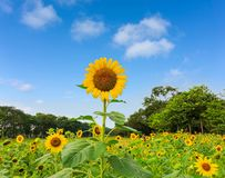 A field of sunflower in a garden, the yellow petals of flower head spread up above green leaves trees background under vivid blue royalty free stock photo