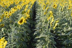 Field of sunflower. Sunflower growing in the field. Bloom royalty free stock photo