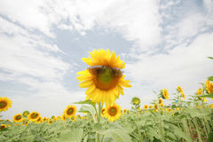 Field sunflower Royalty Free Stock Photography