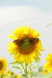 Field sunflower Stock Photography