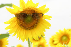 Field sunflower Royalty Free Stock Image