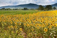 Field of sunflower with mountains background Royalty Free Stock Image