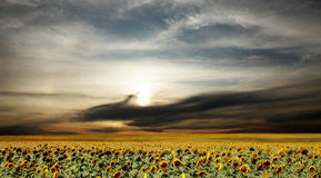 Field of sunflower in rainy day Royalty Free Stock Image