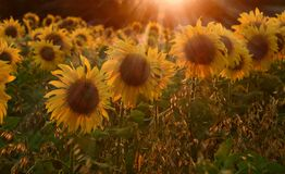 Field with sunflower In rays of setting sun. Field with sunflower In the rays of the setting sun Stock Image