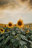 Field of sunflower it`s look beautiful in the twilight. Field of sunflower it`s look beautiful in the twilight Royalty Free Stock Photography