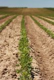 Field of soy. Bean in Croatia royalty free stock photo