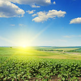 Field sunflower sprouts and sunrise Stock Photos