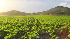 Field with sunflower sprouts Royalty Free Stock Image